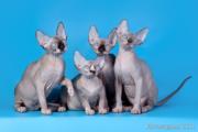 Котята породы канадский сфинкс из питомника