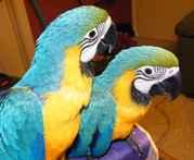 4дома,  поднятые и зарегистрирован синих и золотых попугаи ара для прод