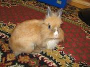 Продается декоративный карликовый львиноголовый кролик.